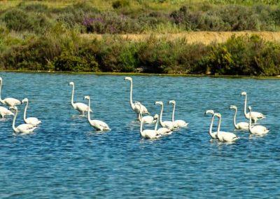 Flamingos - Fuseta